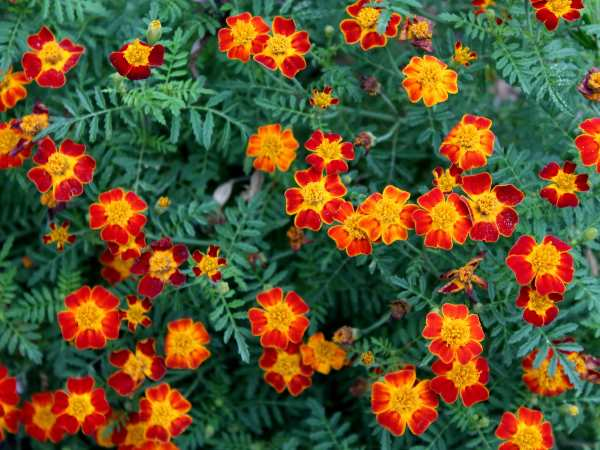 Marigolds are one of the best flowers to plant among vegetables