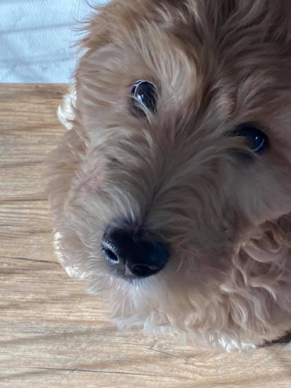 Young puppy golden doodle