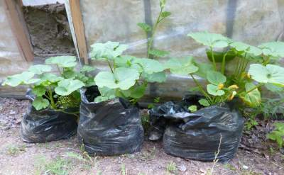 Black plastic bags have a use in the garden - for growing Summer Squash