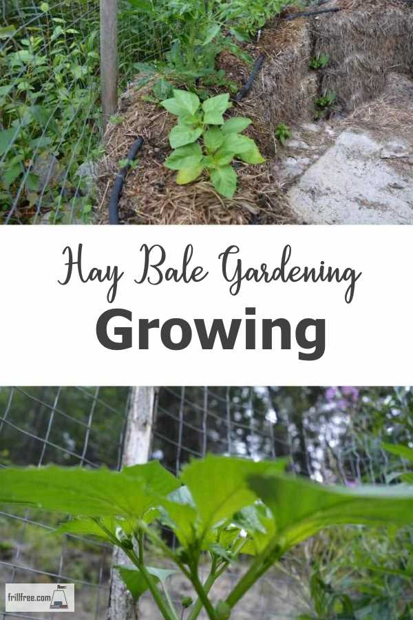 Hay Bale Gardening Growing