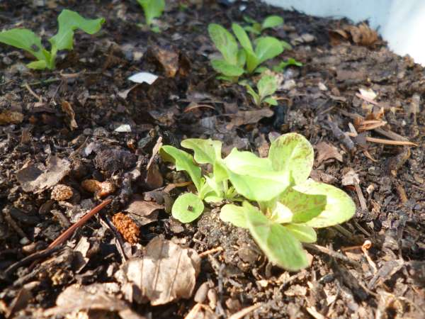 Lettuce Growing in the Finished Hot Compost
