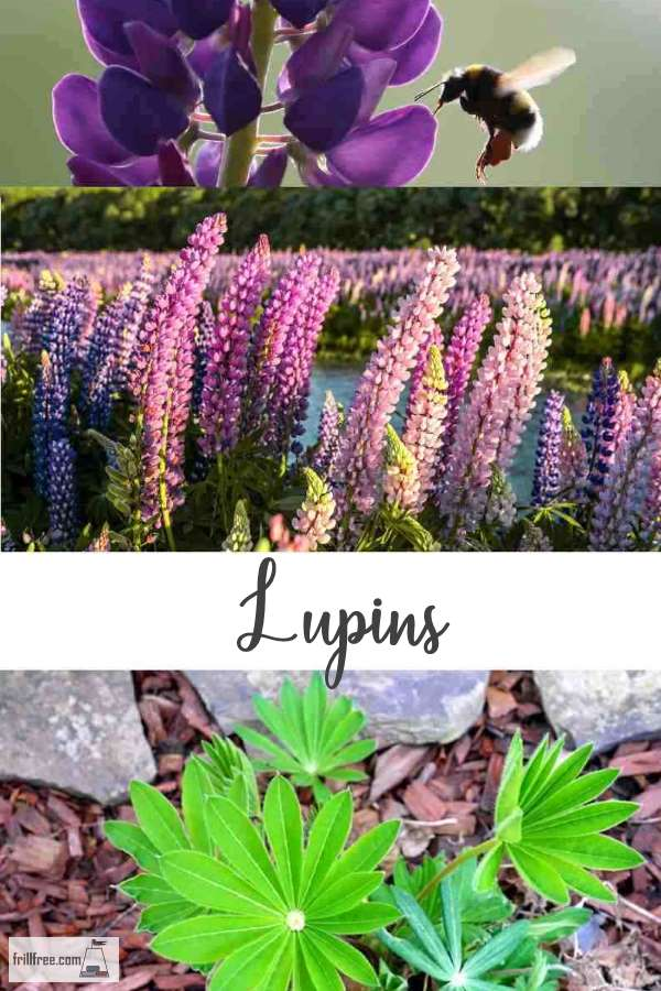 Lupins; beauty and practicality