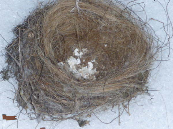 Smallest birds nest, lined with horsehair