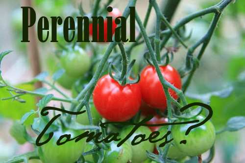 Perennial Tomatoes at Oak Hill Homestead