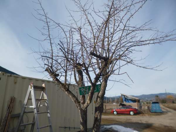 Butchered old apple tree in need of judicious pruning