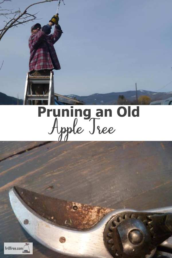 Pruning an Old Apple Tree