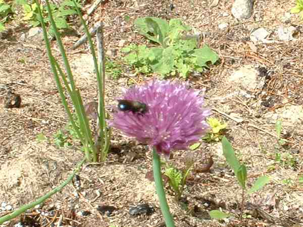Tiny Mason Bee on Chive Flower