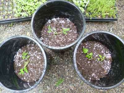 Planted in big pots gives the tomato plants lots of room to grow...