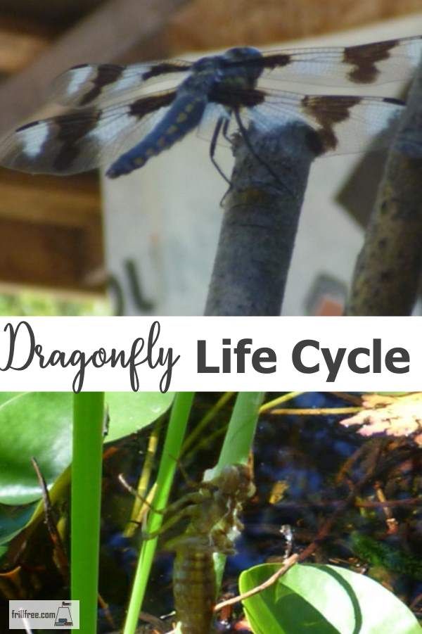 Dragon Fly Life Cycle
