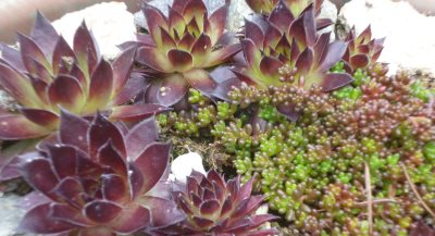 Living roof plants are tough and versatile; after all, they evolved in challenging conditions like mountain peaks