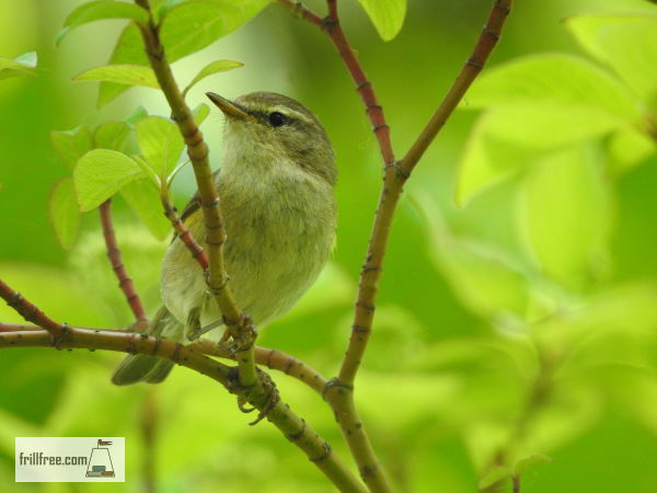 Songbird in the willows
